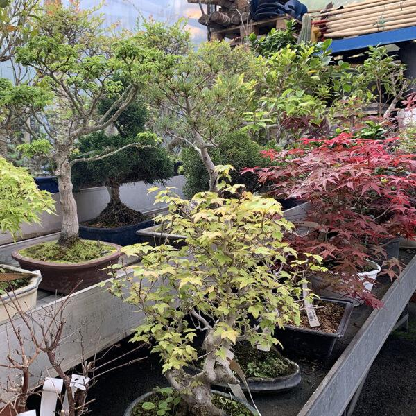 bonsai meraflor