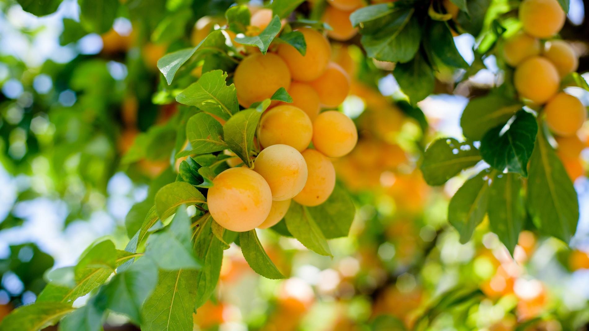 alberi da frutto-vivai meraflor