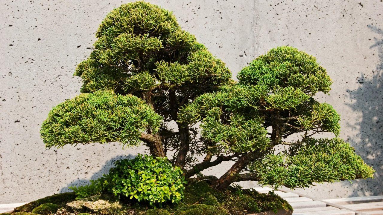 https://www.meraflor.com/wp-content/uploads/2020/05/bonsai-meraflor-alberi-in-miniatura-1280x720.jpg