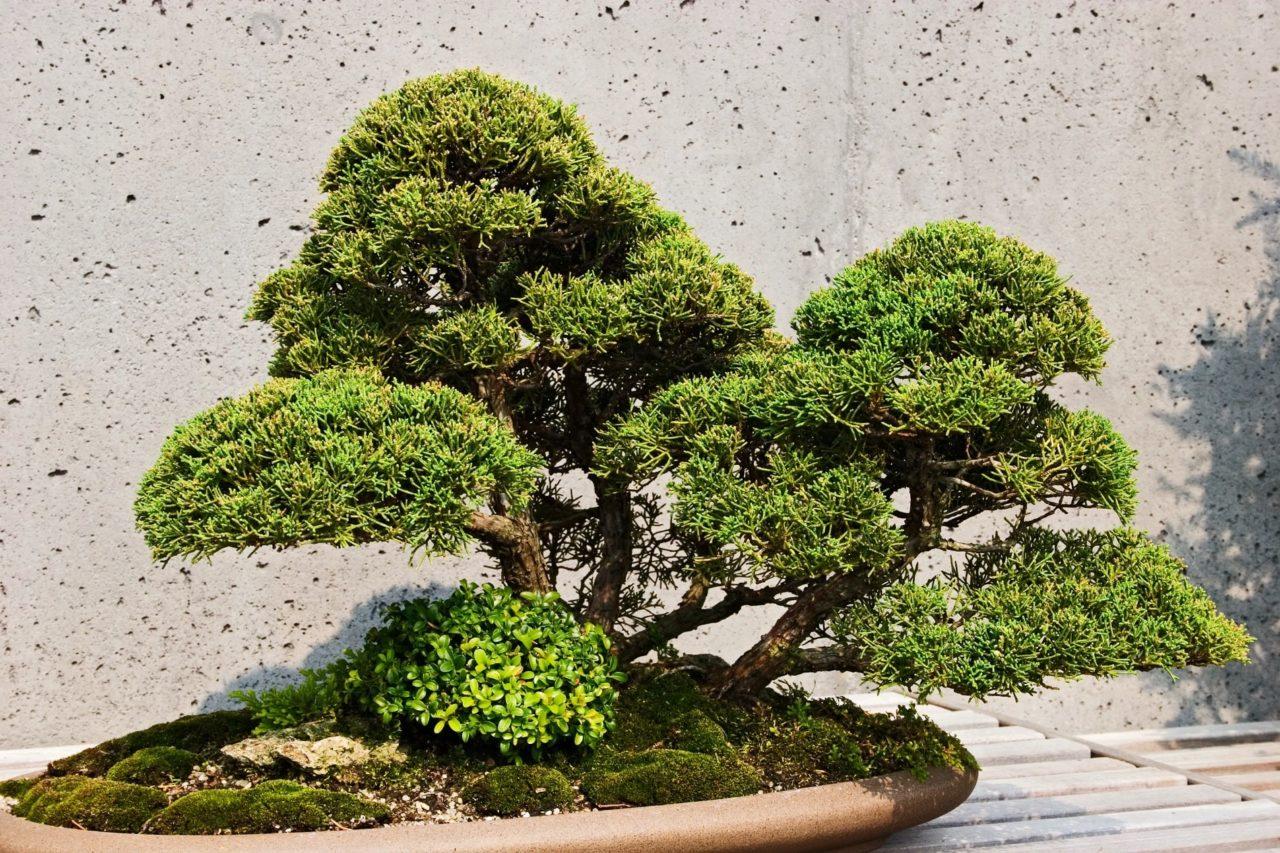 https://www.meraflor.com/wp-content/uploads/2020/05/bonsai-meraflor-alberi-in-miniatura-1280x853.jpg