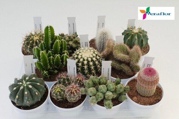 Cactus da collezione.